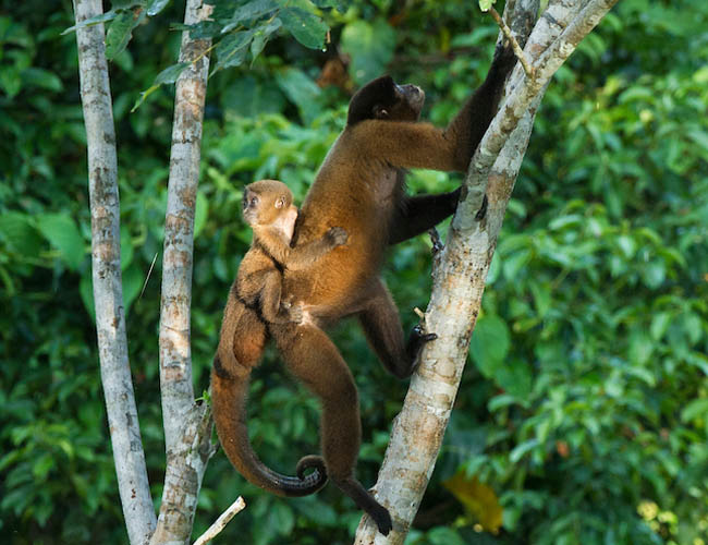 Common Wolly Monkey with baby