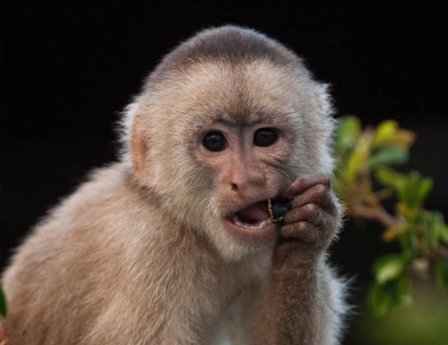 White-Fronted Capuchin eating